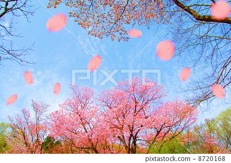 Cherry Blossoms 8720168