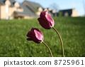 Tulip 8725961
