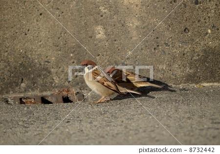 Sparrow 8732442