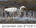 white, heron, looking 8732472
