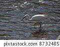 white, heron, egret 8732485