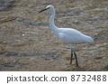 white, heron, egret 8732488