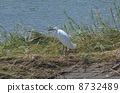 white, heron, egret 8732489