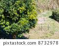 유자 나무 8732978