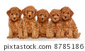 Toy Poodle puppies on a white background 8785186