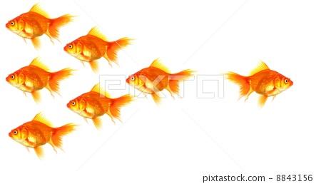 goldfish 8843156