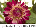 dahlia, dahlias, middle ring 8891399