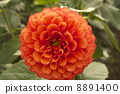 dahlia, dahlias, red balloon 8891400
