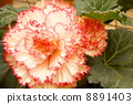begonia, large flowered, transparency 8891403