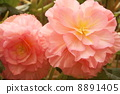 begonia, large flowered, transparency 8891405