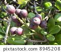 Sharimbai's purple fruit which is soon ripe immediately 8945208