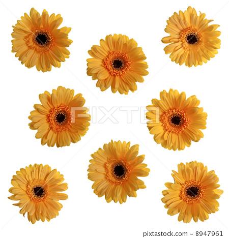 Yellow gerbera flowers 8947961