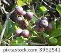 Sharimbai's purple fruit which is soon ripe immediately 8962541