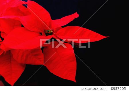 Poinsettia 8987205