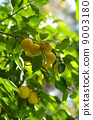 유자 나무 9003180
