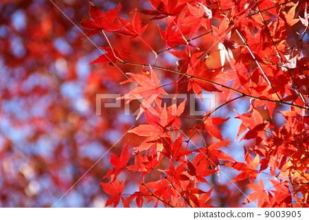 明亮的紅楓 9003905