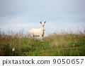 Goat 9050657