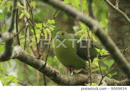 white-bellied green pigeon, wild bird, bird 9069654