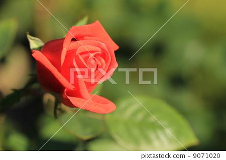 Brilliant red rose flower · superstar 9071020
