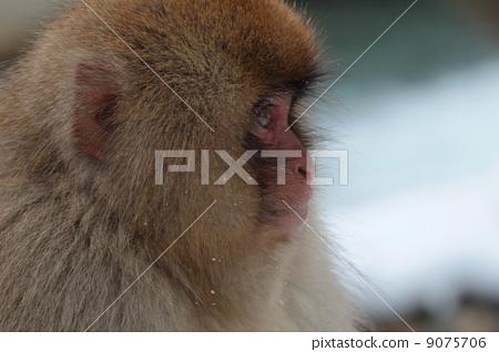 야생 원숭이 公苑 아이 원숭이 9075706