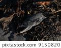 鲑鱼 9150820