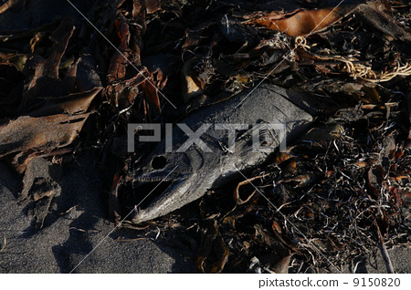 eastern hokkaido, northern countries, salmon 9150820