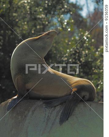 일광욕 캘리포니아 바다 사자 9156359