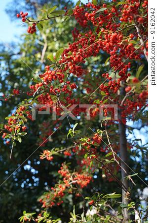 붉은 열매 9162042