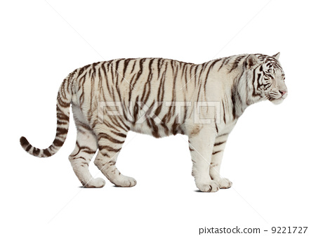 tiger. Isolated over white 9221727