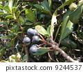 익은 검은 보라색의 열매가 된 샤린바이 9244537