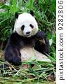 bamboo, animal, asia 9282806