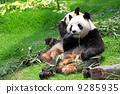 asian, asia, bear 9285935