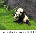 asia, bear, asian 9286833