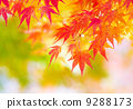 Maple tree 9288173