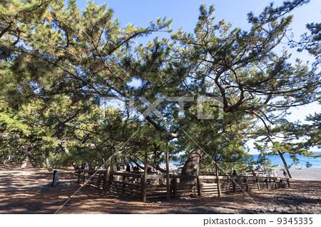 Pine tree of Miho no Morihara Uga 9345335