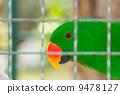 Eclectus parrot in bird cage closeup 9478127