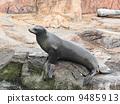 sea lion 9485913