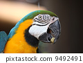 Macaw parrot 9492491