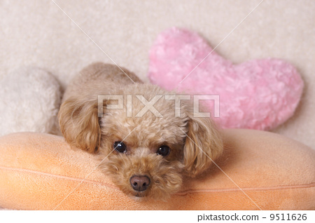 Heart cushion and toy poodle 9511626