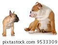 frenchie, argument, bulldog 9533309