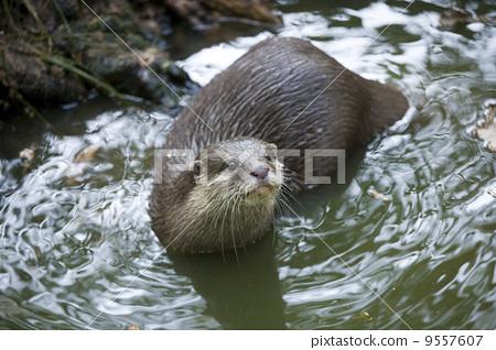 Otter 9557607