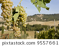 Close-up of green grapes on grapevine in vineyard 9557661