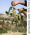 Harvester hands cutting grapes 9557662