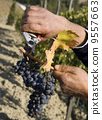 Harvester hands cutting grapes 9557663