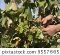 Harvester hands cutting grapes 9557665
