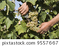Harvester hands cutting grapes 9557667