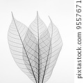 Dry transparent leaves isolated on white background. 9557671