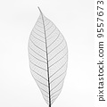Dry transparent leaf isolated on white background 9557673