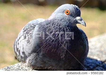 一隻坐著的鴿子 9560182