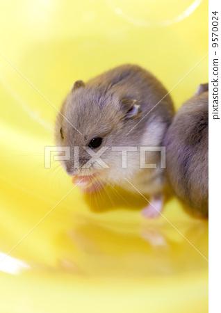 Blue sapphire hamster 9570024
